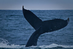Beautiful humpback whales in the coast of Ecuador Royalty Free Stock Images