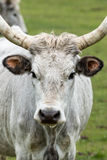 Beautiful hungarian grey bull Stock Photos
