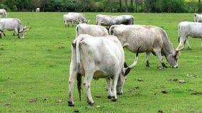 Beautiful Hungarian Grey Cows Stock Photo