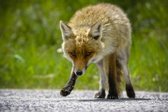 Fox Looking for Food. Beautiful Hungry Fox Looking for Food in Parco Nazionale D`Abruzzo stock photos
