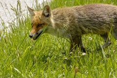 Fox Looking for Food royalty free stock image