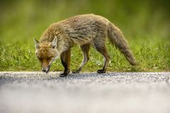 Fox Looking for Food. Beautiful Hungry Fox Looking for Food in Parco Nazionale D`Abruzzo royalty free stock photography