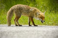Fox Looking for Food stock image