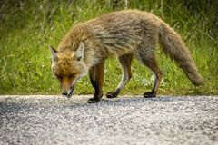 Fox Looking for Food stock photography