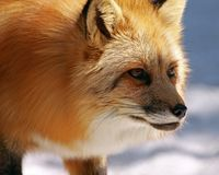 Beautiful Hunter Royalty Free Stock Photography