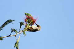 A beautiful Hunters sunbird extracting nectar Royalty Free Stock Photo