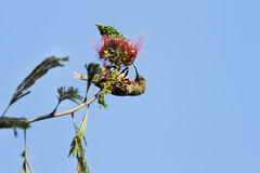A beautiful Hunters sunbird feedin nectar Royalty Free Stock Photo