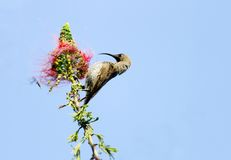 A beautiful Hunters sunbird perched on a branch Stock Photos