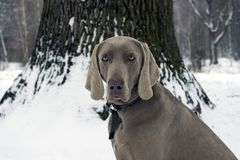 Beautiful hunting dog Weimaraner looking at the camera for a wal Royalty Free Stock Photo