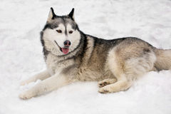 Beautiful Huski and snow. Around white show cute huski is having a rest by laying Royalty Free Stock Images