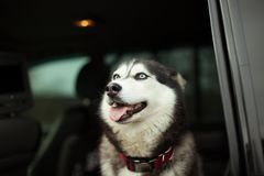 Beautiful husky dog in car royalty free stock photo