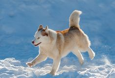 Beautiful husky dog running. In winter day stock images