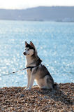 Beautiful Husky dog sitting on sunny beach Royalty Free Stock Image