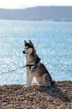 Beautiful Husky dog sitting on sunny beach. Lovely black and white husky dog sitting upright on beach in the sun Royalty Free Stock Image