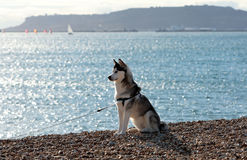 Beautiful Husky dog sitting on sunny beach. Lovely black and white husky dog sitting upright on beach in the sun Stock Photos