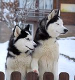 Husky dogs in winter. Beautiful Husky dogs in winter royalty free stock photography