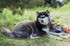 Beautiful husky poses on a walk. Beautiful fluffy husky poses on a walk stock photo