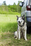 Beautiful husky poses on a walk Stock Photo