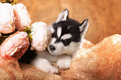 Beautiful husky puppy with flowers Stock Photography
