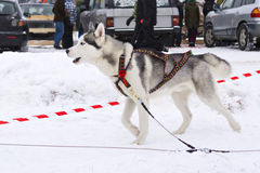 Beautiful husky before race Royalty Free Stock Image