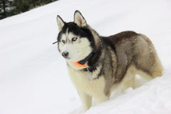 The beautiful  Husky in the winter forest Stock Photos
