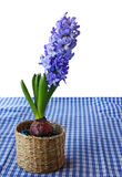 A beautiful hyacinth in a basket. A beautiful blue hyacinth in a basket on a blue checkered table cloth Royalty Free Stock Photo