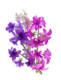 Beautiful Hyacinth Bouquet Royalty Free Stock Photo