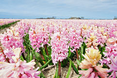 Beautiful hyacinth field Royalty Free Stock Image