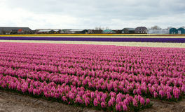 Beautiful hyacinth field in Holland Stock Photography