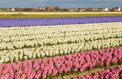 Beautiful hyacinth fields in Netherlans Royalty Free Stock Image