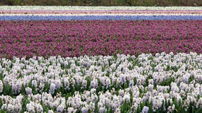 Beautiful Hyacinth Flower Fields in Netherlands Royalty Free Stock Photography