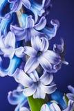 Beautiful hyacinth flower Stock Photos