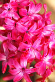 Beautiful Hyacinth Flowers Stock Images