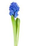 Beautiful hyacinth isolated Royalty Free Stock Photo