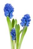 Beautiful hyacinth isolated Stock Photos