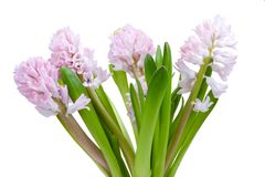 Beautiful hyacinth isolated Stock Images