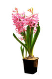 Beautiful hyacinth on white Stock Images