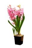 Beautiful hyacinth on white Stock Images