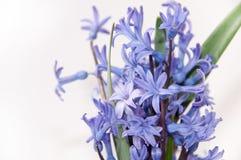 The beautiful hyacinth on white background Royalty Free Stock Image
