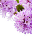 Beautiful Hyacinths Stock Photos
