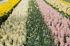 Beautiful hyacinths in Keukenhof Gardens, Netherlands Royalty Free Stock Photo