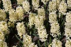 Beautiful hyacinths in Keukenhof Gardens, Netherlands Royalty Free Stock Photography