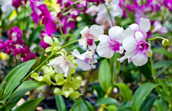 Beautiful hybrid dendrobium orchid flower branch Royalty Free Stock Photography