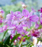 Beautiful hybrid dendrobium orchid flower branch Stock Photo