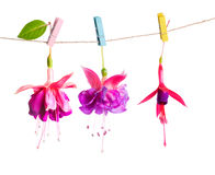 Beautiful hybrid of fuchsia flowers handing on rope with colorfu Stock Images