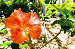 Beautiful hybrid yellow-orange hibiscus flower in a spring season at a botanical garden. royalty free stock photography