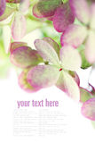 Beautiful  hydrangea Royalty Free Stock Images