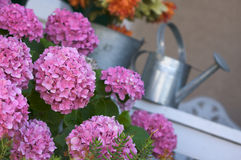 Beautiful Hydrangea Blossoms Stock Photo