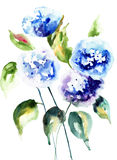 Beautiful Hydrangea blue flowers. Watercolor illustration Royalty Free Stock Photography