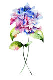 Beautiful Hydrangea Royalty Free Stock Image
